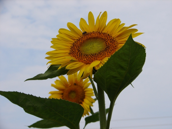 Vegetables, yes--but sunflowers too